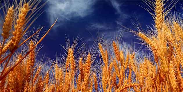 Ясновидци пшеница